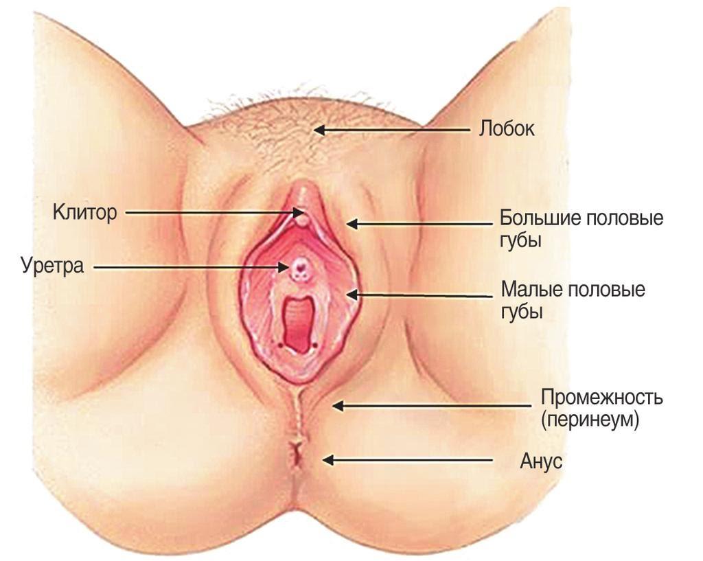 Анатомия наружных половых органов женщины